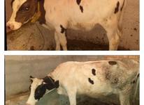 گاو.گوساله در شیپور-عکس کوچک