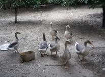 حیوانات خانگی هفت عدد غاز سه ماهه دو رگه در شیپور-عکس کوچک
