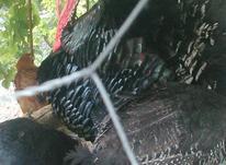 بوقلمون برنز در شیپور-عکس کوچک