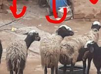گوسفند فروشی نژاد شال در شیپور-عکس کوچک
