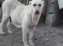 سگ ماده الابای افغان در شیپور-عکس کوچک