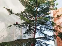 کاج درختی   8طبقه  در شیپور-عکس کوچک