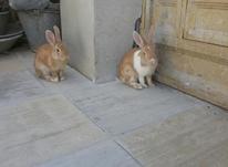 ی جفت خرگوش خوشکل طلایی نروماده در شیپور-عکس کوچک