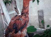 جوجه خروس لاری در شیپور-عکس کوچک