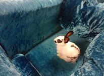 خرگوش خانگی جای دستشوییش رو بلده در شیپور-عکس کوچک