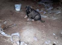 سگ سرابی،، در شیپور-عکس کوچک