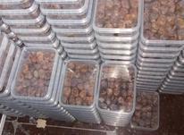 رطب برحی درجه یک در شیپور-عکس کوچک