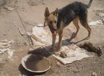سگ نر ژرمن ماده دوبرمن در شیپور-عکس کوچک