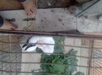 بچه خرگوش درنگهای مختلف در شیپور-عکس کوچک
