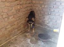 سگ.هاسکی.اصلچشم.یخی.ماده در شیپور-عکس کوچک