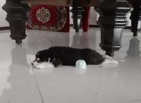 سگ هاسکی نژاد اصل در شیپور-عکس کوچک
