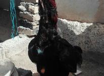 جوجه لاری نسل عالی در شیپور-عکس کوچک