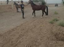 نریون ترکمن در شیپور-عکس کوچک