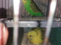 مرغ عشق عالی روی تخم در شیپور-عکس کوچک