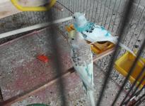 جفت مرغ عشق رنگ خاص در شیپور-عکس کوچک