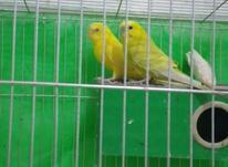 مرغ عشق مولد  در شیپور-عکس کوچک