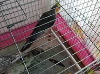 طوطی طوسی آماده صحبت در شیپور-عکس کوچک