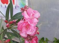 درختچه همیشه گلدار (خرزهره)  در شیپور-عکس کوچک