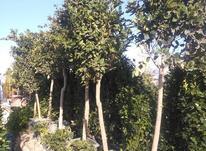باغبانی سمپاشی در شیپور-عکس کوچک