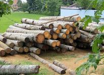 خریدار چوب صنوبر وسپیدار و کاج و باغی *نقدی* در شیپور-عکس کوچک