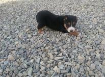 توله سگ دوبرمن ماستیو خارجی.. در شیپور-عکس کوچک
