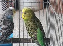 مرغ عشق سلام مست مست در شیپور-عکس کوچک