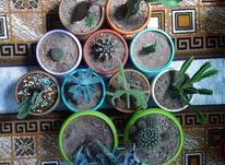 گلدان کاکتوس در شیپور-عکس کوچک