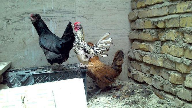 خروس سیبرایت مرغ کاکل ریش در گروه خرید و فروش ورزش فرهنگ فراغت در همدان در شیپور-عکس1