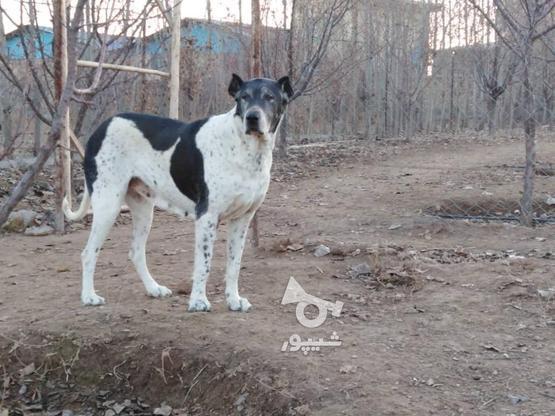 سگ ماده سرابی در گروه خرید و فروش ورزش فرهنگ فراغت در کرمان در شیپور-عکس1