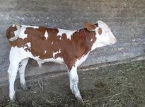 گاو گوساله سیمینتال نر در شیپور-عکس کوچک
