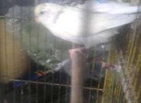 مرغ عشق نیمه انگلیسی در شیپور-عکس کوچک