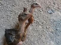 جوجه های لاری در شیپور-عکس کوچک
