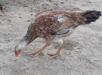یک عدد مرغ لاری اصل و با نژاد در شیپور-عکس کوچک