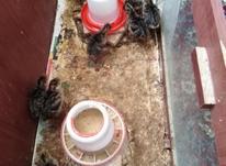 جوجه بوقلمون  در شیپور-عکس کوچک