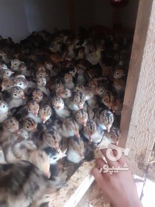 فروش بوغلمون گوشتی در گروه خرید و فروش ورزش فرهنگ فراغت در گیلان در شیپور-عکس1