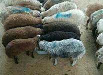گوسفند زنده همراه با قصاب رایگان  در شیپور-عکس کوچک
