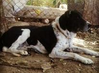توله سگ خراسانی معاوضه با سگ آدم گیر در شیپور-عکس کوچک