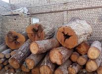 قطع و برش درخت در شیپور-عکس کوچک