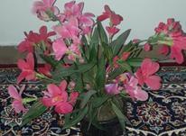 گل مصنوعی نو در شیپور-عکس کوچک