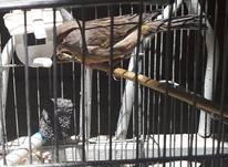 قناری ماده جوان در شیپور-عکس کوچک