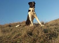 سگ سرابی دو ساله در شیپور-عکس کوچک
