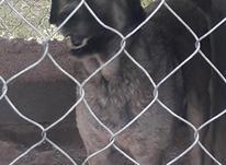 1تا سگ ماده عراقی خوب با دو تا توله  در شیپور-عکس کوچک