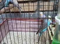 مرغ عشق سالم  در شیپور-عکس کوچک