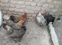 مرغ محلی زینتی لاری معاوضه بابوقلمون نرماده در شیپور-عکس کوچک