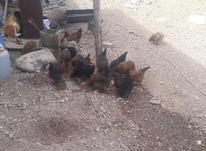 فروش مرغ محلی در شیپور-عکس کوچک
