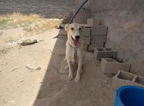 سگ نژاد میکس از کنگال در شیپور-عکس کوچک