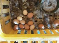 فروش انواع ماکیان زنده در شیپور-عکس کوچک