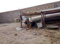 سگ ژرمن نرفروش یامعاوضه در شیپور-عکس کوچک