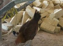 مرغ لارل تخم گذار در شیپور-عکس کوچک