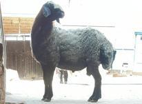 گوسفند اصیل شال در شیپور-عکس کوچک